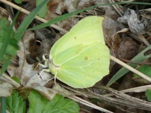 Citroenvlinder vrouwtje