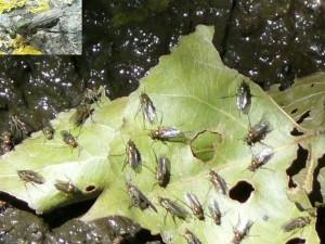 Slankpootvliegen