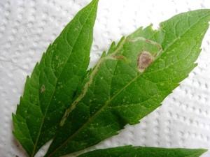 Mineervlieg (Liriomyza eupatorii) - Mineergang
