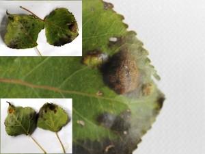 Peppelbladblaasje - Populier Plantengal: boven en onderzijde