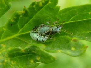 Snuitkever (Phyllobius betulinus) mannetje en vrouwtje copulerend