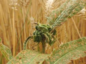 bladvlo (Veenworteltop) - Veenwortel Plantengal