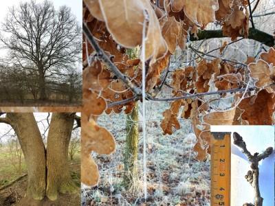 Zomereik winterbeelden