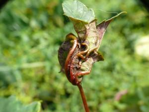 galmug (Esdoornbladplooi) - Plantengal op Gewone esdoorn