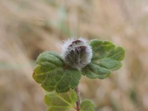 galmug (Gewone ereprijs) - Plantengal