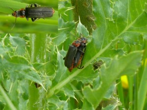 Zwartpootsoldaatje mannetje copulerend met vrouwtje