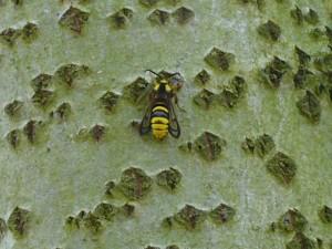 Hoornaarsvlinder